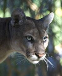 Once critically endangered Florida Panther: Subspecies of Mountain Lion recovered from population decline : Thanks to dedicated science bound conservation measure...
