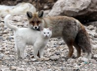 Red Fox and Cat