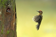 Laced Woodpecker