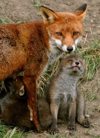 Red Fox with Pup