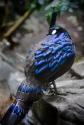 Palawan Peacock Pheasant