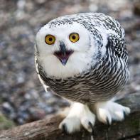 owly-sweetie
