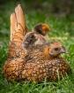 Wild Hen