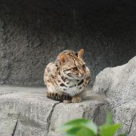 600px-Leopard_Cat_Tennoji
