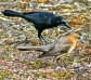 Boat-tailedGrackles463QuiscalusmajorB@