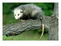 OSHAM-00001851-001~Opossum-on-Branch-USA-Posters