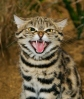 Black-footed cat (Felis nigripes) Southern Africa. Captive, Port Lympne Wild Animal Park, Kent, UK.