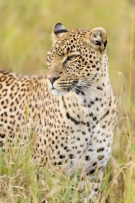 African Leopard (Panthera pardus pardus), female standing in long grass near Seronera, Serengeti National Park, Tanzania
